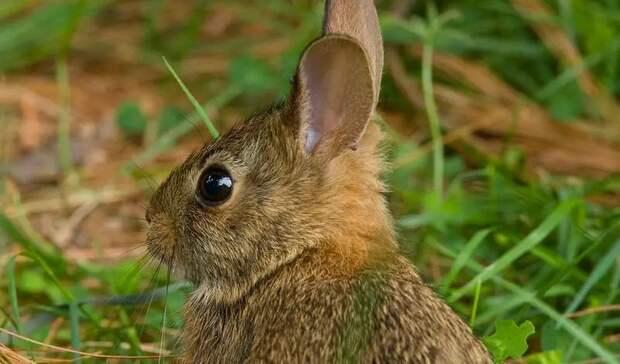 Зайцы и кролики разделили судьбу людей: на Америку обрушилась «кроличья Эбола»