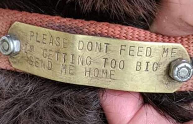 Добрые люди подкармливали собаку, но затем посмотрели на ошейник. Хитрец сбегал из дома ради еды