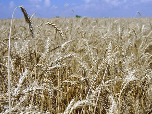 России грозит «стеблевая ржавчина»: старая болезнь губит пшеничные поля