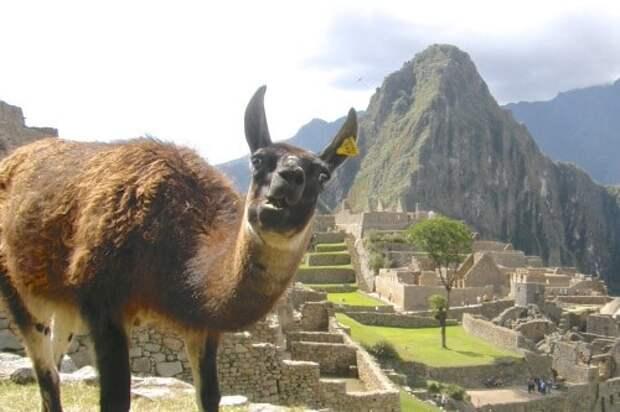 Ах, красоты Мачу-Пикчу! в кадре, главные герои, животные, забавно, смешно, фото, юмор