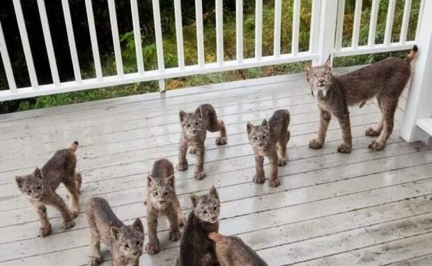 Семейство из семерых рысят обнаружил житель Аляски, когда проснулся