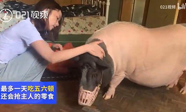 Китаянка думала, что купила мини-пига, но ей продали свинью, которая быстро выросла до 150 кило