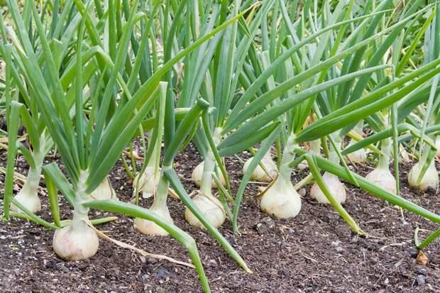 Советы по выращиванию лука
