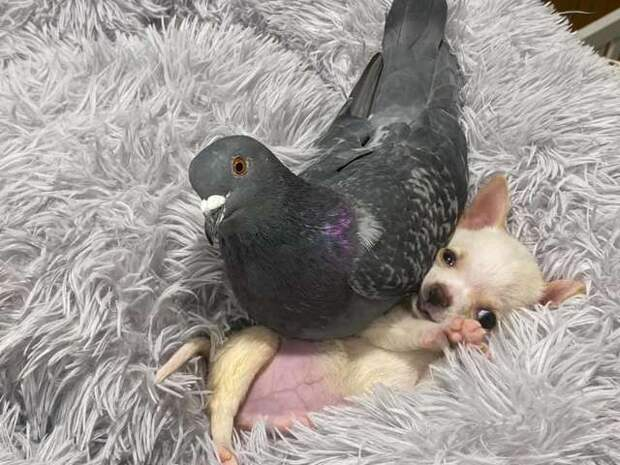 голубь и собака