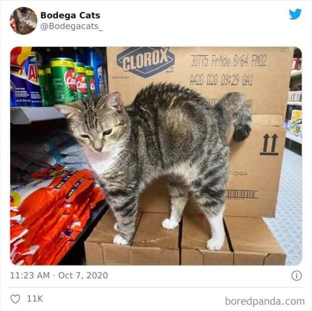 25 магазинных котов, всем своим видом показывающих кто влавке главный