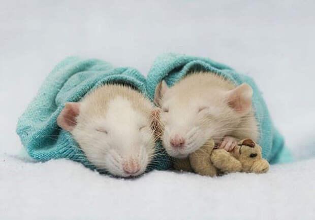 Фотографии милейших домашних крысок в обнимку с миниатюрными мягкими игрушками