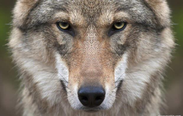 Волк упал в яму, его спас лесник. Через год волк снова позвал мужчину к той самой яме…