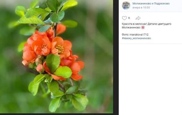 Фото дня: японская айва зацвела в Молжаниновском