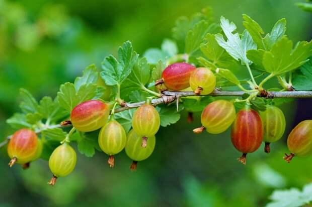 Меню для царской ягоды, или главные проблемы крыжовника