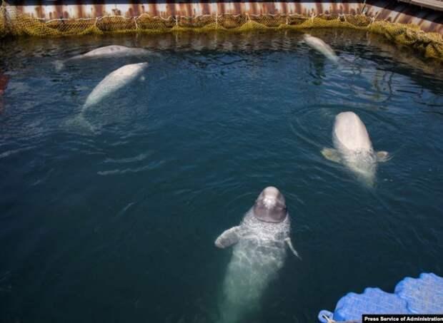 Еще одну компанию-отловщика «китовой тюрьмы» оштрафовали на 56 млн рублей