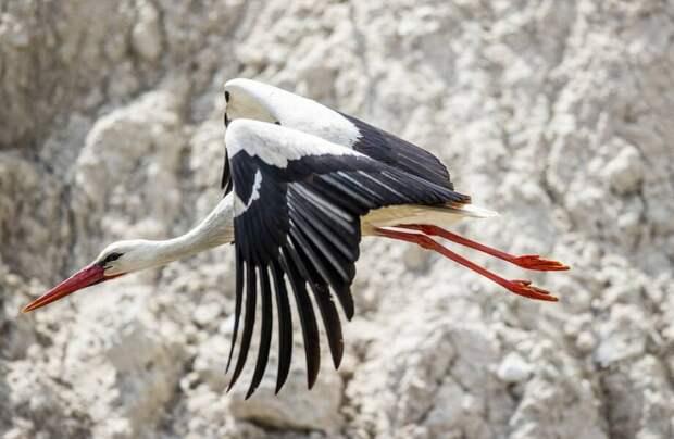 Фото дня: аист возвращается в свое гнездо после зимовки