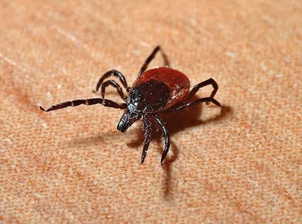 С начала сезона в Удмуртии более 800 человек пострадали от укусов клещей