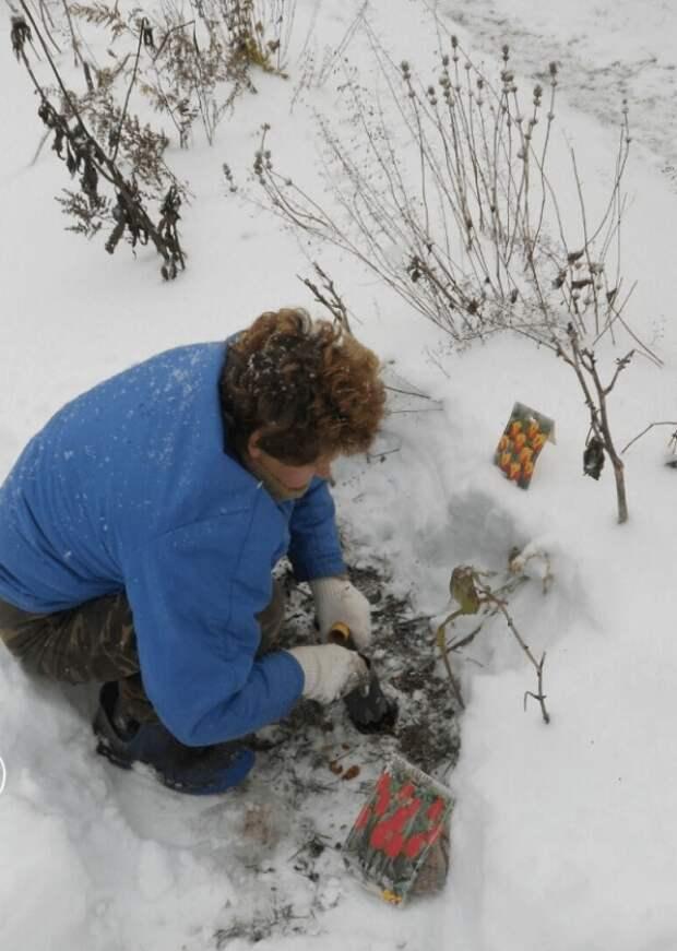 Посадка тюльпанов под снег