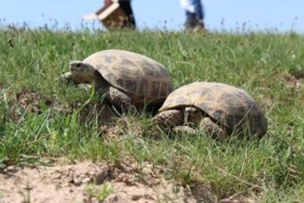В Сарыагашском районе прошла операция по спасению черепах