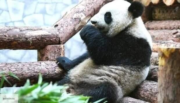 Кадры неудачной погони панды за павлином попали в Сеть