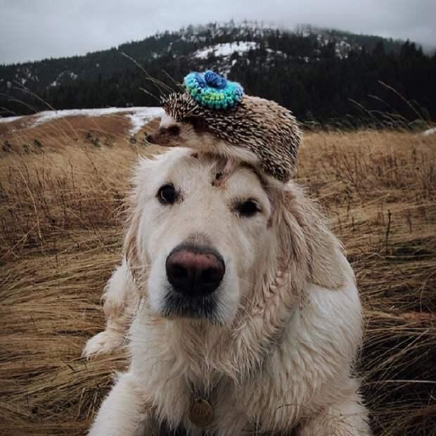 Милый ежик и великолепный пес Уотсон.