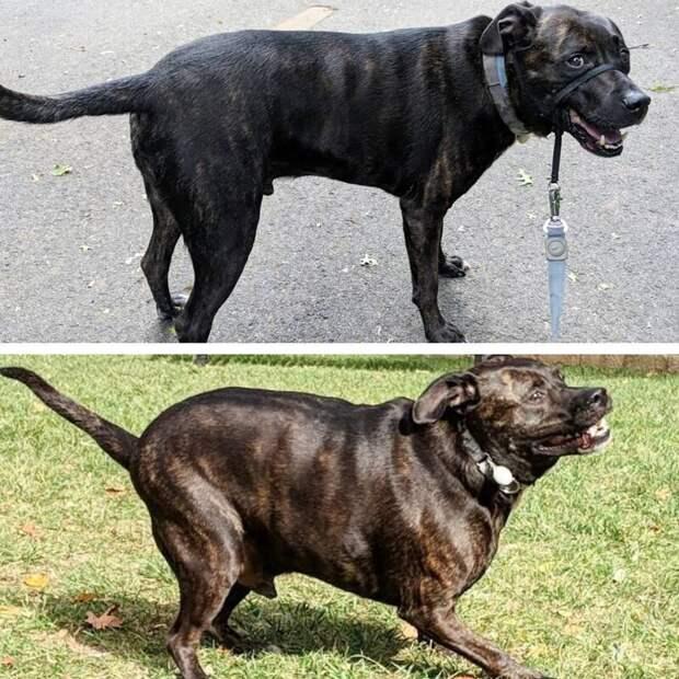 5. Было 48,5 кг, стало 38,5 диета, до и после, домашний питомец, животные, похудела, собака, фигура