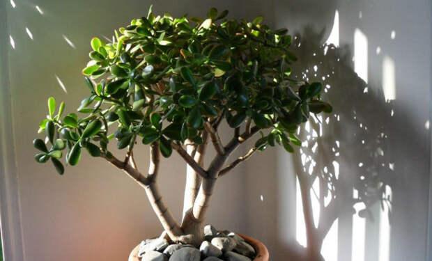 Денежное дерево: в чем польза для дома