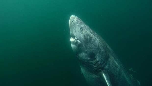 Найдена старейшая акула в мире