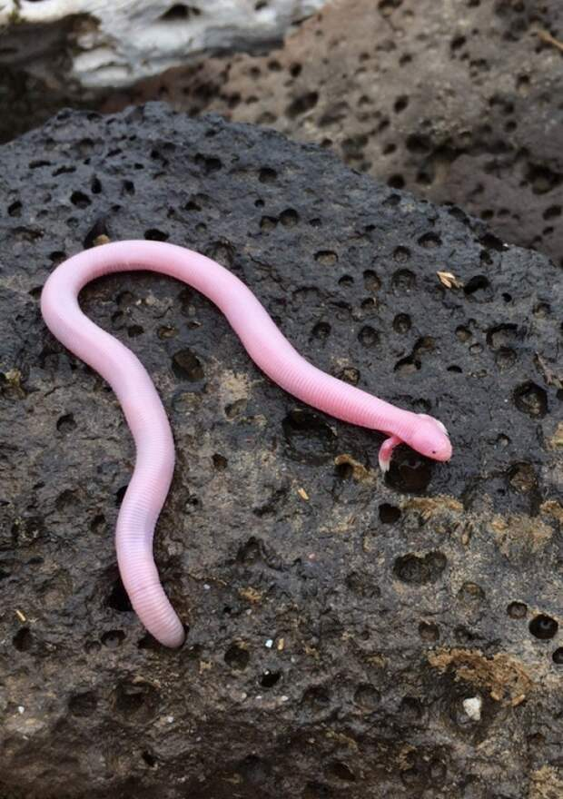 Айолот — редкий вид пресмыкающихся из семейства двуногов. Похож на очень длинную ящерицу.