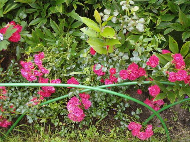 Почвопокровная CentrO-Rose отличается здоровьем и декоративностью. Фото автора
