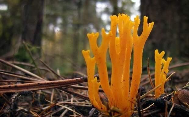 14. Коралловый гриб / Clavulinopsis corallinorosacea грибы, факты, это интересно