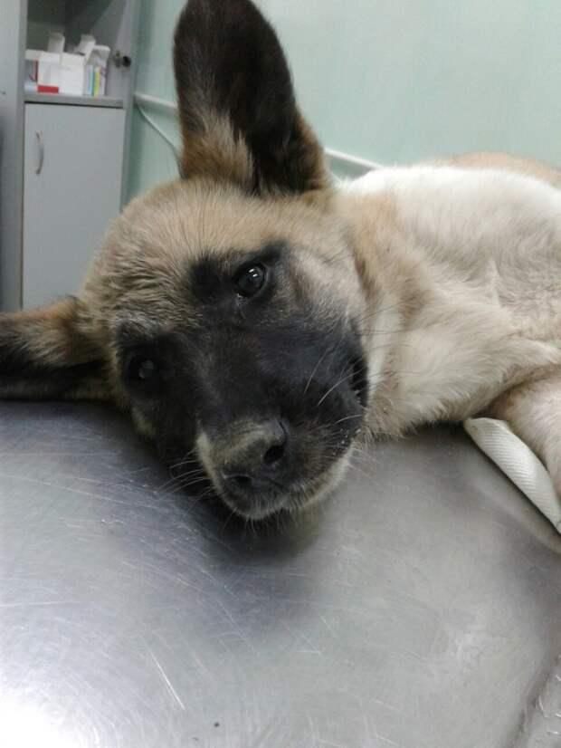 Развевающаяся на ветру красная ленточка спасла щенку жизнь история, приют, сбитая собака, собака, щенок