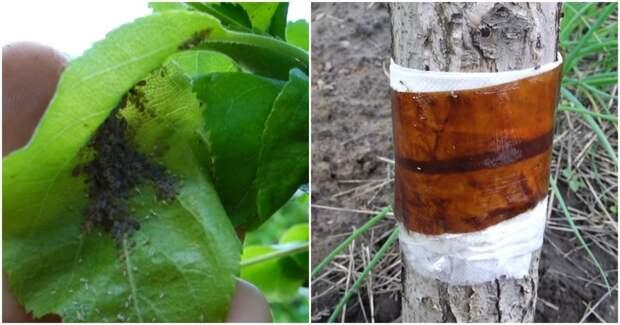 Способ, который быстро избавит вас от тли и муравьев на плодовых деревьях без химии и переплат