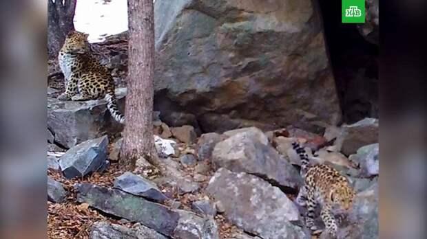 Романтическое свидание дальневосточных леопардов сняли на видео в Приморье
