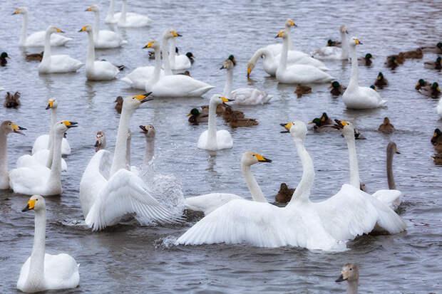 Заказник «Лебединый» . Лебединое озеро Алтая
