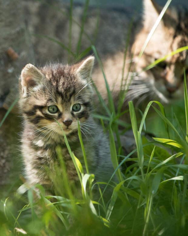 В Эдинбурге родились котята редкого шотландского дикого кота