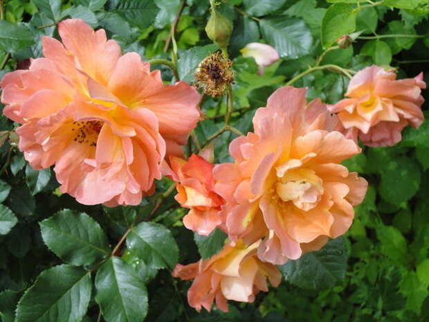Роза Westerland. Иметь в саду этот выдающийся сорт большая удача! Фото автора