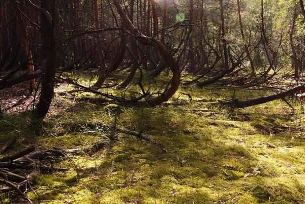 Пьяный лес в Рязанской области
