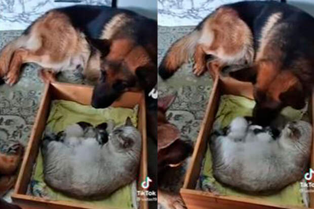 Псы-телохранители, оберегающие кошку скотятами, покорили интернет