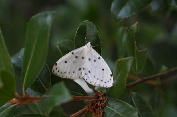 Бирючиновая пяденица (Naxa seriaria)
