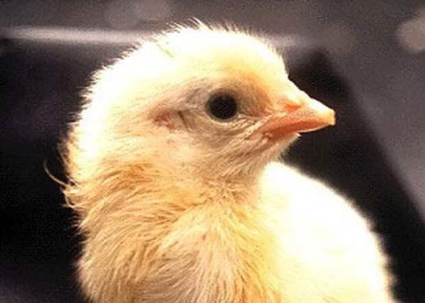Как из яйца развивается курица