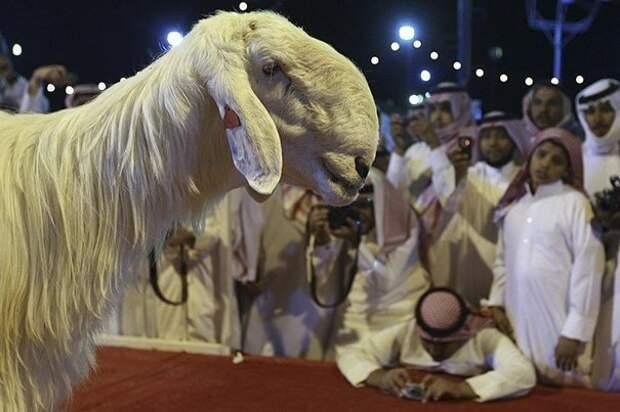 15. Порода, животные, козел, козы, необычные животные, саудовская аравия, селекция, уродливые животные