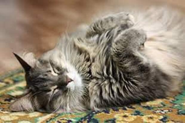 КОШКИН ДОМ. Гипертермия: как помочь кошке пережить жару?