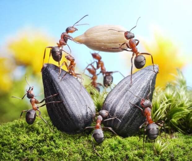 муравьи перетаскивают семпена