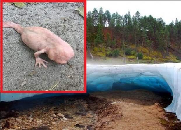 В Якутии поймали живого динозавра! Необычное существо вылезло из ледника Булуус