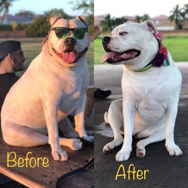 15. Принцесса Лея потеряла 3,6 кг за 2 месяца диета, до и после, домашний питомец, животные, похудела, собака, фигура