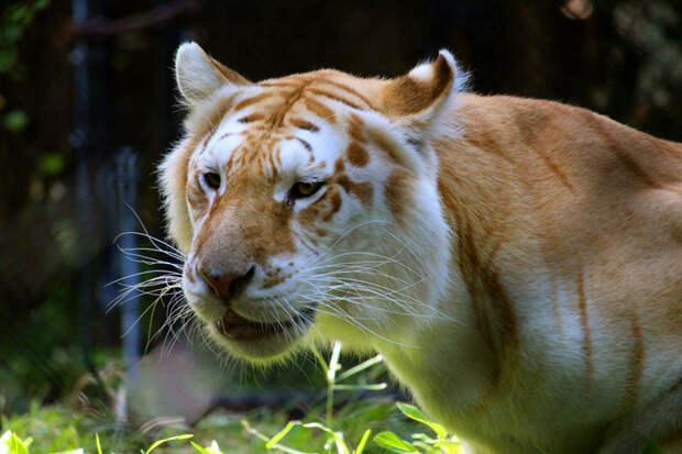 Тигролев, лигр, тигард, лепард, яглев, ягупард, тигуар и другие гибриды больших кошек