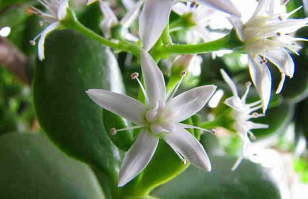 Как заставить цвести ваше домашнее денежное дерево