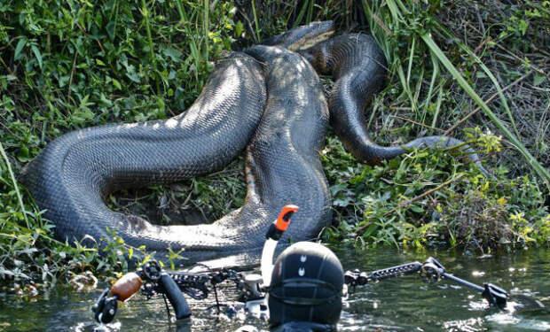 Анаконда в деле: 15-метровый хищник против всей Амазонки