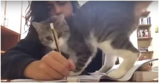 Когда пытаешься учиться, но у тебя живет кот видео, девушка, домашняя работа, животные, кот, милота, прикол, учеба, юмор