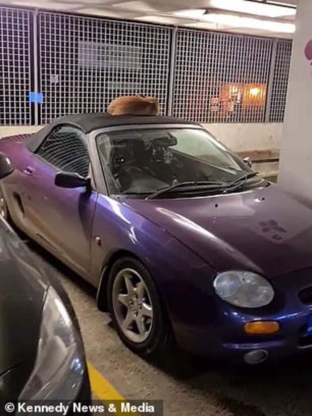 Музыкант нашел на крыше своего автомобиля спящую лису. Она отказывалась уходить.