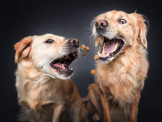 Забавные портретов собак, которые пытаются поймать лакомство (14 фото)