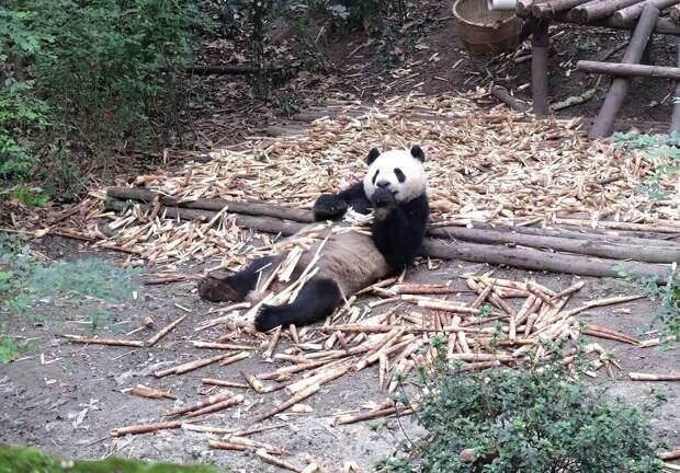 Панды бывают разные...