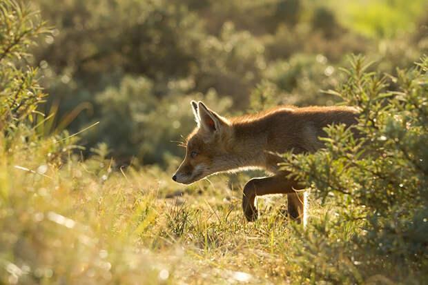 Непредсказуемые дикие лисы в фотографиях Розелин Реймонд-25