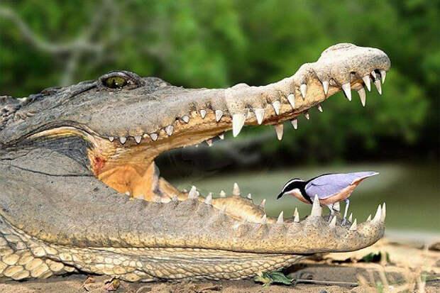 Действительно ли птицы чистят зубы крокодилам?